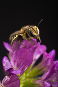Nids d'abeilles nouveau genre