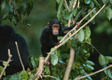chimpanzee225