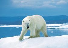 Des satellites pour surveiller les ours polaires