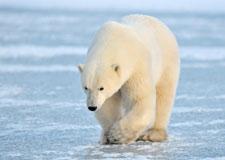 Les impacts du réchauffement pour l'ours polaire