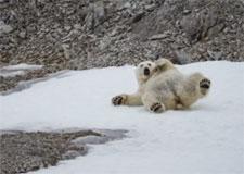 Habitat des ours polaires