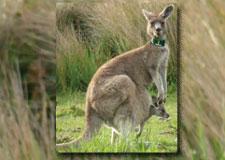 De l'adoption chez les kangourous