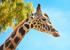 La girafe s'exprime
