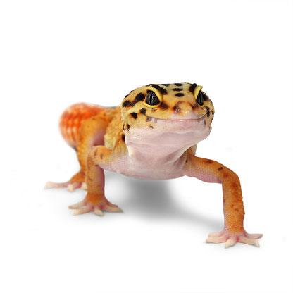 gecko400