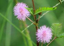 Mimosa pudica, la plante qui sent le pet!
