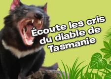 Viens écouter les cris du diable de Tasmanie !