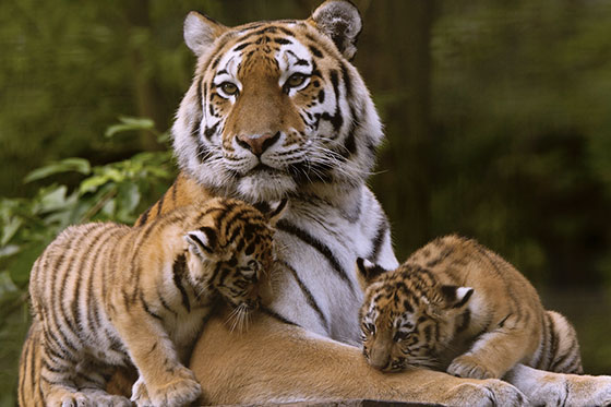 tigre560
