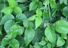 Herbe à la puce : pour tout savoir sur cette plante