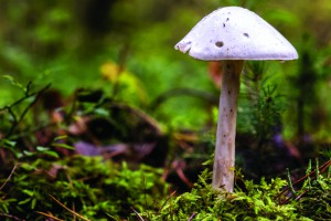 champignon amanite