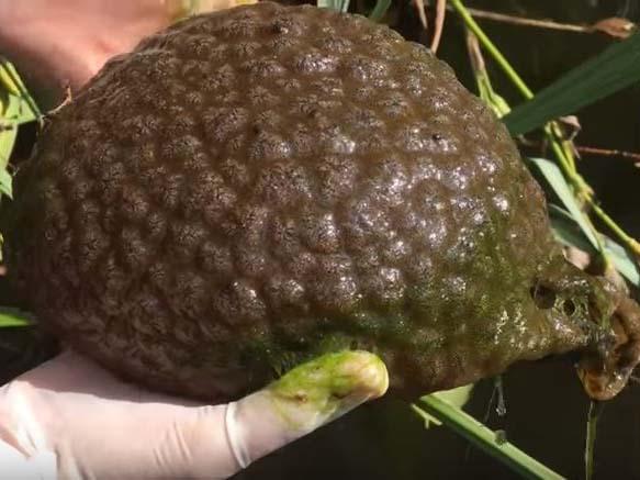 Le blob : créature gélatineuse [Vidéo]