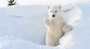 C'est la journée internationale de l'ours polaire