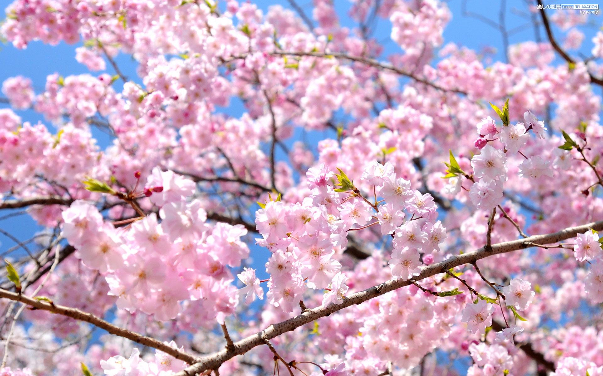 Cerisier Fleur Japon Les Debrouillards