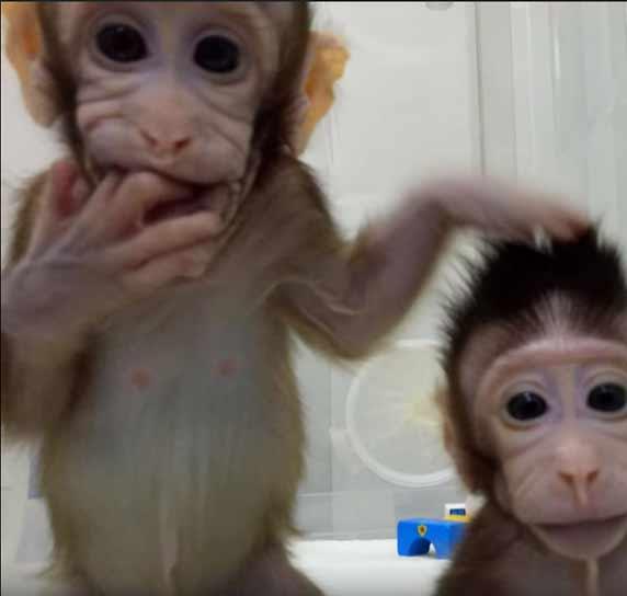 Clonage : maintenant les singes!