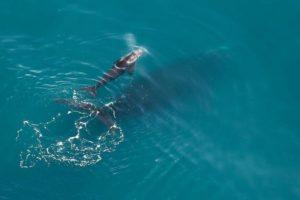 Le premier bébé baleine noire de la saison