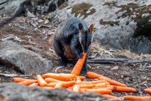 Opération wallaby en Australie