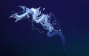 Le siphonophore, l'« animal » le plus long du monde !