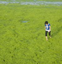La mer Jaune devient verte!